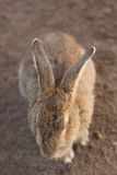 The fluffy rabbit Royalty Free Stock Photography