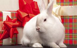 Fluffy rabbit in giftbox Royalty Free Stock Photo