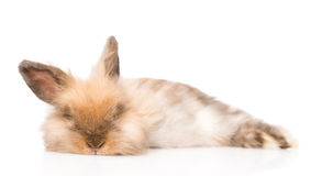 Fluffy rabbit looking at camera. isolated on white background Stock Images