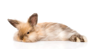 Fluffy rabbit looking at camera. isolated on white background Royalty Free Stock Image