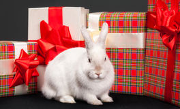 Fluffy rabbit rounded giftbox Royalty Free Stock Photo