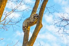 Fluffy raccoon sits high up on a tree and watching. royalty free stock images