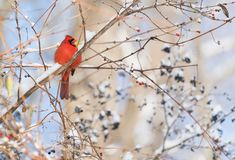 Fluffy red cardinal with open beak sitting on a winter branch co. Vered with berries and snow. Holiday, wildlife and nature concepts Stock Photos