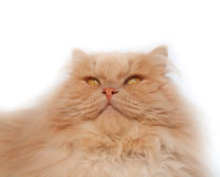 Fluffy, red cat. On a white background Royalty Free Stock Photography