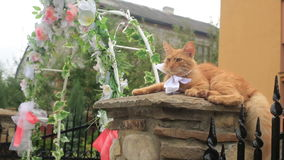 The fluffy red cat with the bow on his neck is lying on the fence near the wedding arch. The fluffy red cat with the bow on his neck is lying on the fence near stock footage