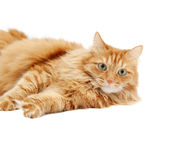 Fluffy red  cat  isolated Royalty Free Stock Image