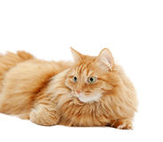 Fluffy red  cat  isolated Royalty Free Stock Photo