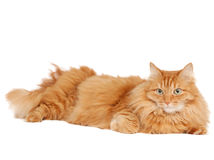 Fluffy red  cat  isolated Royalty Free Stock Photography