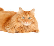 Fluffy red  cat  isolated Stock Images