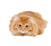 Fluffy red  cat  isolated Stock Photos