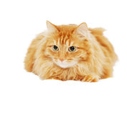 Fluffy red  cat  isolated Stock Image