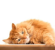 Fluffy red  cat  isolated on white Royalty Free Stock Photography