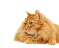 Fluffy red  cat  isolated on white Stock Photography