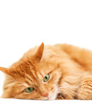 Fluffy red  cat  isolated on white Royalty Free Stock Photos
