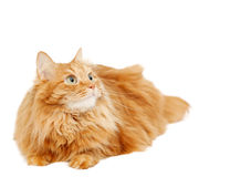 Fluffy red  cat  isolated on white Royalty Free Stock Images