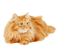 Fluffy red  cat  isolated on white Stock Photo