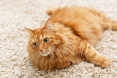 Fluffy red cat Royalty Free Stock Image