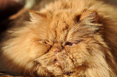 Fluffy Red cat lying and sleeping Stock Images