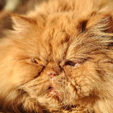 Fluffy Red cat lying and sleeping Stock Image