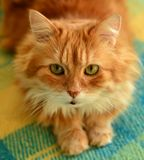 Fluffy red cat. Stock Photography