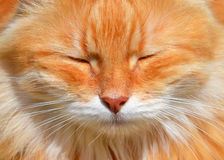 Fluffy red cat Stock Photos