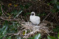 A fluffy Red Footed Booby chick stock photography