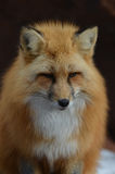 Fluffy Red Fox with a Sweet Face. Sweet faced red fox with amazing markings Stock Photos
