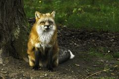 A fluffy red fox Vulpes vulpes Royalty Free Stock Image