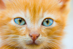 Fluffy red kitten. With blue eyes closeup portrait Royalty Free Stock Image