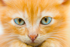 Fluffy red kitten Stock Photos