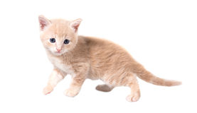 Fluffy red kitten on white background Stock Photography