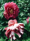 Fluffy Red Peony Flowers in Bloom royalty free stock photo
