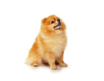 Fluffy red Pomeranian dog Royalty Free Stock Images