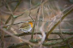 Fluffy red robin in winter Stock Photo