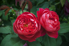 Fluffy red roses on a green natural background, close-up Stock Images