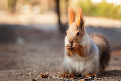 Fluffy red squirrel Royalty Free Stock Image