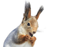 fluffy red squirrel opened his mouth on a white isolated background Stock Photography