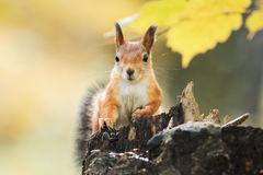 Fluffy red squirrel sitting on a stump in the autumn Park and eating the seeds Royalty Free Stock Image