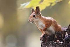 Fluffy red squirrel sitting on a stump in the autumn Park and eating the seeds Stock Images