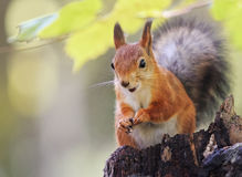 Fluffy red squirrel sitting on a stump in the autumn Park and eating the seeds Stock Photography