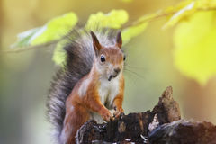 Fluffy red squirrel sitting on a stump in the autumn Park and eating the seeds Royalty Free Stock Photo