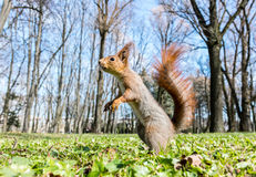 Fluffy red squirrel standing in green grass on spring park Royalty Free Stock Images