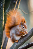 Fluffy red squirrel with winter fur Royalty Free Stock Images