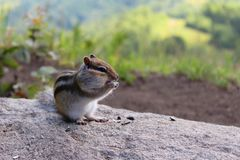 Chipmunk on the rock chewing sunflower seeds royalty free stock photos
