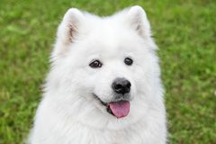 Fluffy samoyed dog in green grass Royalty Free Stock Image