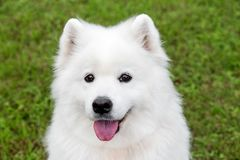 Fluffy samoyed dog in green grass Royalty Free Stock Photography