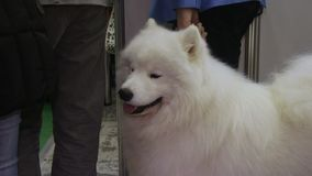 Fluffy samoyed dog patiently waiting for master on leash, cute domestic animal. Stock footage stock footage