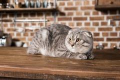 Fluffy scottish fold cat lying on wooden tabletop in kitchen. Grey fluffy scottish fold cat lying on wooden tabletop in kitchen Stock Images