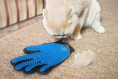 Fluffy Scottish fold cream cat near grooming rubber blue glove c. Ombs and lump of cat hair. removing cat hairs with rubber grooming glove. Selective focus stock image