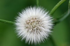 Fluffy seed head Stock Images